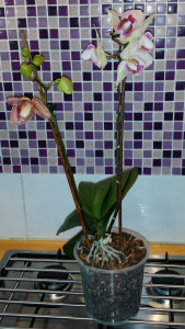 Lydia's orchid - one spike waning, the other waxing!