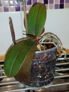 My original orchid - healthy new air roots and leaves.